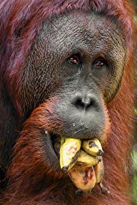 Фотографии Обезьяны Бананы Морда Животные
