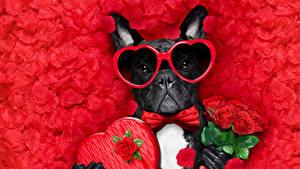 Фотографии День всех влюблённых Собака Букет Роза Красный фон Лепестки Бульдога Сердца Очки Галстук-бабочка животное
