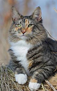 Картинки Кошки Смотрят Norwegian Forest cat