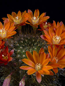 Фотографии Кактусы Крупным планом Черный фон Оранжевый Цветы