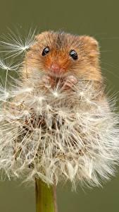 Картинка Мыши Одуванчики Вблизи Цветной фон Eurasian harvest mouse животное