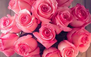 Фото Розы Крупным планом Розовых Цветы