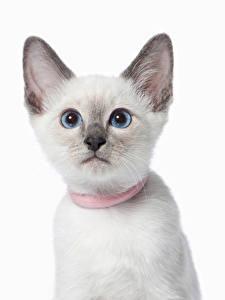 Фотографии Коты Белом фоне Морда Смотрит Животные