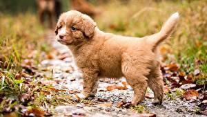 Картинка Собаки Щенок Новошотландский ретривер Размытый фон животное