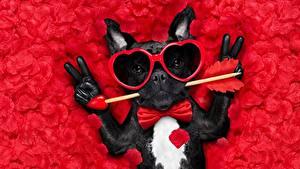 Картинка Собаки День всех влюблённых Французский бульдог Очки Сердце Перчатки Забавные Галстук-бабочка Лепестки Животные