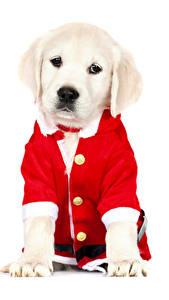 Обои Рождество Собаки Белый фон Ретривер Животные