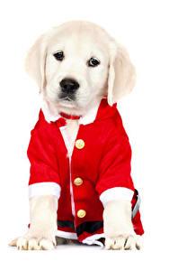Обои Рождество Собаки Белый фон Ретривер