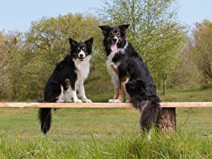 Фото Собаки Два Бордер-колли Скамья Взгляд Животные