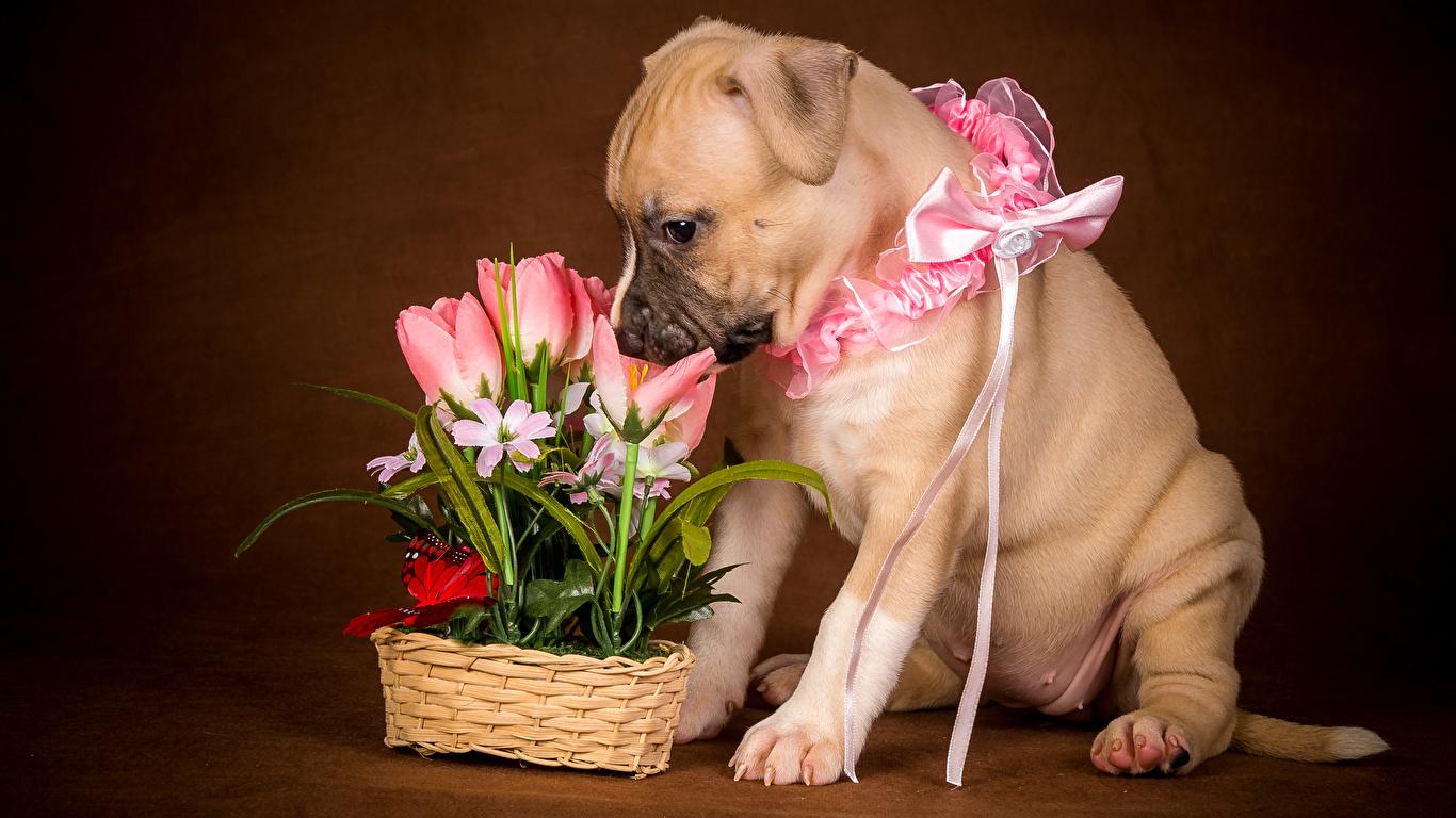 Картинка Щенок Собаки тюльпан бант животное 1366x768 щенки щенка щенков собака Тюльпаны Бантик бантики Животные