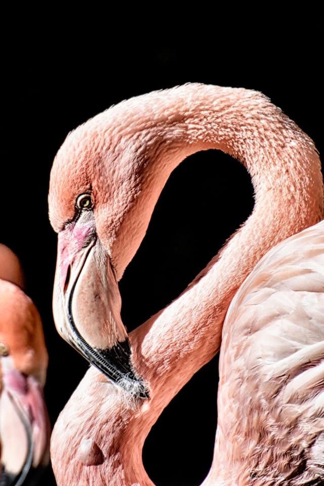 Фотографии Фламинго Клюв вблизи Животные на черном фоне 640x960 для мобильного телефона животное Черный фон Крупным планом