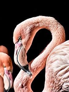 Фотографии Фламинго Вблизи Черный фон Клюв Животные