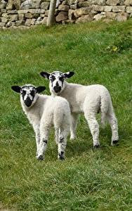 Обои Овцы Детеныши Траве Вдвоем Животные