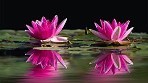 Обои Водяные лилии Крупным планом Двое Розовый Отражение Цветы