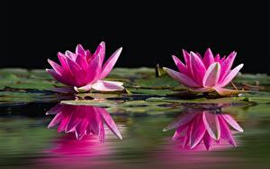 Обои Водяные лилии Крупным планом Двое Розовый Отражение цветок