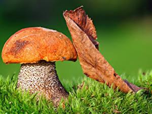 Фотографии Осень Крупным планом Грибы природа Листья Трава Природа