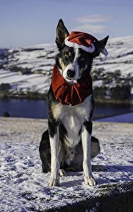 Обои Рождество Собаки Смотрит Шапки