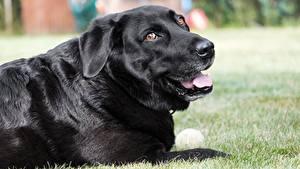 Картинки Собаки Трава Черный Смотрит Ретривер Labrador
