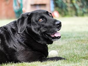 Картинки Собаки Трава Черный Смотрит Ретривер Labrador Животные