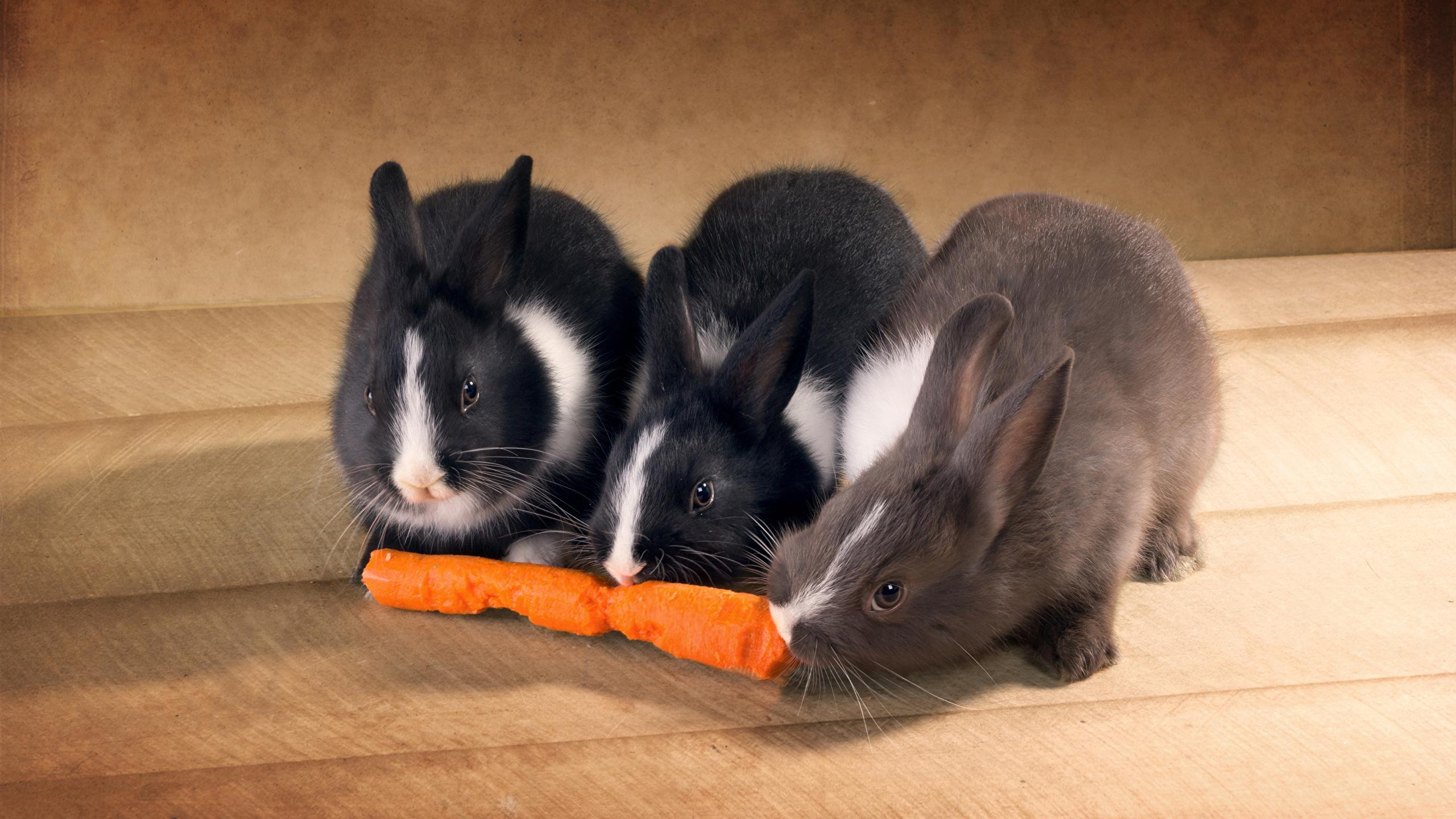 Фотографии Кролики морковка втроем Животные 2560x1440 кролик Морковь три Трое 3 животное