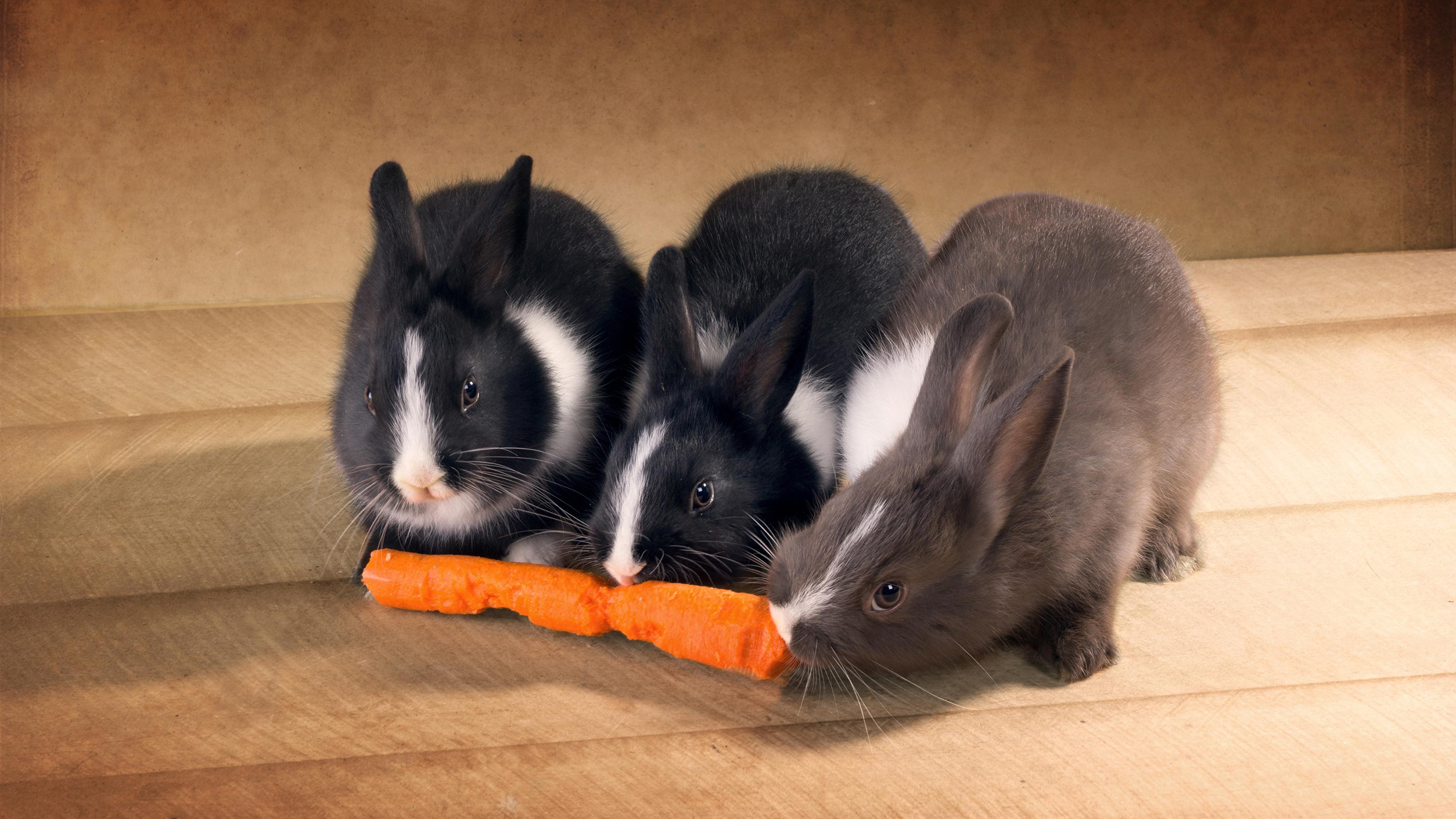 Фотографии Кролики Морковь Трое 3 Животные 3840x2160 три втроем