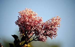 Фото Вблизи Сирень Розовые Meyer's lilac Цветы