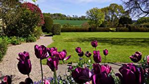 Картинка Великобритания Сады Тюльпаны Кустов Газоне Felley Priory Gardens Природа