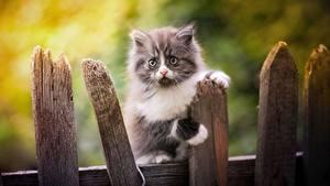 Картинка Кошки Котята Забора Взгляд животное