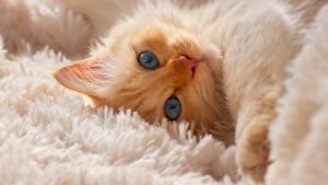 Картинка Коты Котенок Морды Смотрит животное