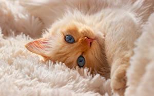 Картинка Кошки Котята Морды Взгляд Животные