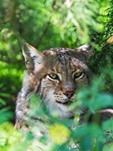 Фотография Рыси Голова Смотрит Животные