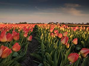 Фотографии Тюльпан Поля Цветы