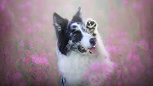 Обои Собака Бордер-колли Миленькие животное