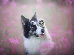 Обои Собака Бордер-колли Миленькие