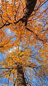 Картинки Осенние Дерево Ствол дерева Вид снизу