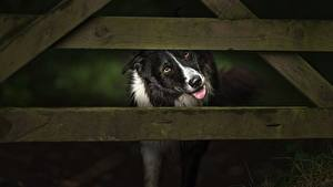 Фотография Собаки Забора Доски Бордер-колли Животные