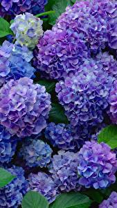 Фотография Гортензия Синий Фиолетовый Цветы