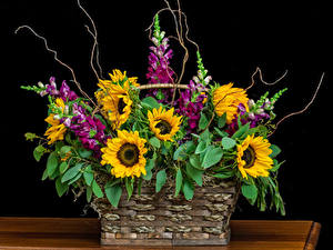 Фотография Букеты Львиный зев Подсолнухи На черном фоне Корзины Цветы