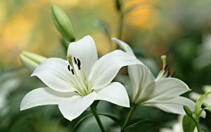 Фото Лилия Вблизи Белая Цветы