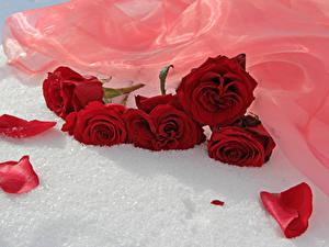 Фото Роза Красные Лепестков Цветы
