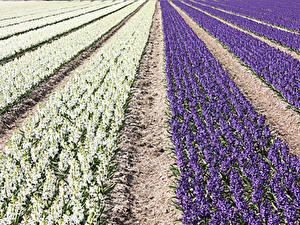 Картинки Поля Гиацинты Много Цветы