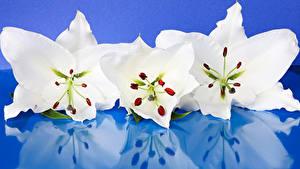 Фотографии Лилии Крупным планом Цветной фон Втроем Белых Отражение Цветы
