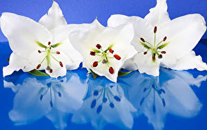 Фотографии Лилия Крупным планом Цветной фон Три Белых Отражении Цветы