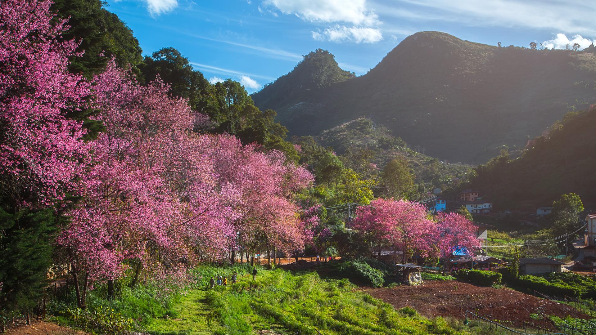 Картинка Таиланд Fang City Горы Природа весенние Поля Цветущие деревья 1920x1080 Весна
