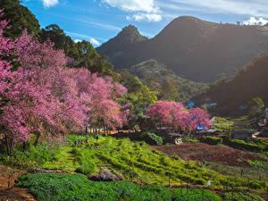 Обои для рабочего стола Таиланд Весна Горы Поля Цветущие деревья Fang City Природа