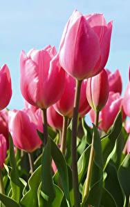 Фото Тюльпаны Крупным планом Розовый цветок