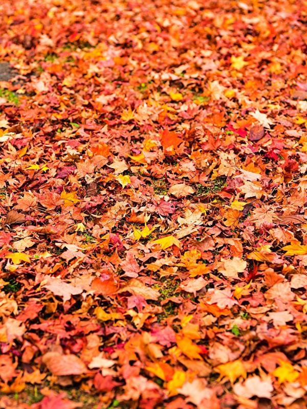 Картинка Листья Текстура клёновый Осень Природа Много 600x800 для мобильного телефона лист Листва Клён клёна осенние