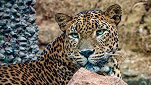 Картинка Большие кошки Леопарды Морда Смотрит Животные