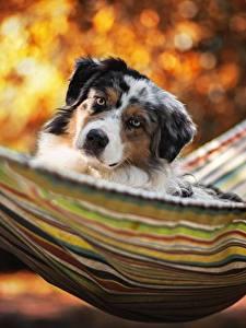 Фотографии Собака Гамаке Смотрит Аусси животное