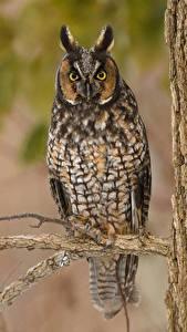 Картинка Птица Совы Ветвь Смотрит Long Eared Owl животное