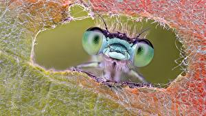 Обои Стрекозы Макросъёмка Крупным планом Глаза Животные